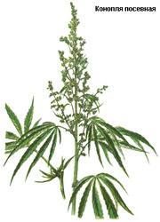 700 грамм марихуаны