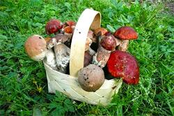Корзинка грибов ценой в автомобиль