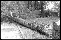Поваленное ветром дерево рухнуло на жилой дом